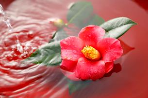椿の花と水の写真素材 [FYI01694534]