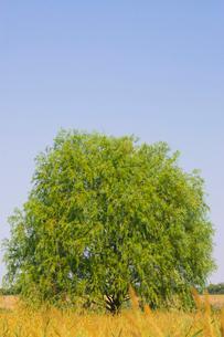 荒川河川敷の木の写真素材 [FYI01695048]
