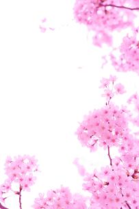 桜の写真素材 [FYI01695207]