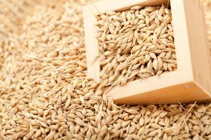 大麦と升の写真素材 [FYI01695272]