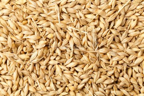 六条大麦の写真素材 [FYI01695633]