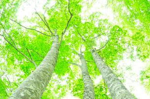 新緑のブナの写真素材 [FYI01699260]