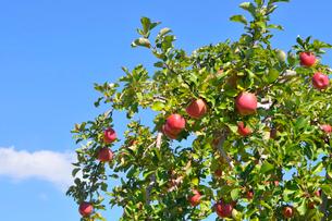 リンゴの写真素材 [FYI01699261]