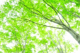 新緑のブナの写真素材 [FYI01699287]