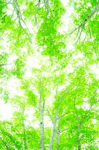 新緑のブナの写真素材 [FYI01699289]