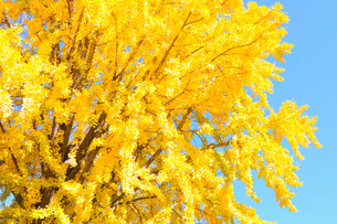 黄葉したイチョウの写真素材 [FYI01699291]