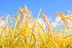 稲の写真素材 [FYI01699301]