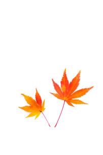 紅葉したカエデの葉の写真素材 [FYI01699306]
