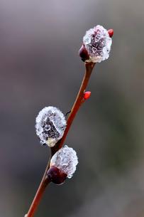 ネコヤナギの花穂の写真素材 [FYI01699308]