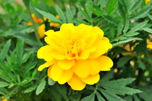 マリーゴールドの花の写真素材 [FYI01699309]