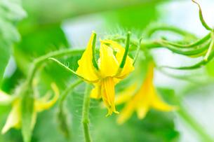 トマトの花の写真素材 [FYI01699310]