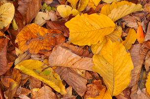 ホオノキの落ち葉の写真素材 [FYI01699311]