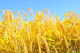 稲の写真素材 [FYI01699321]