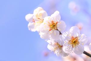 梅の花の写真素材 [FYI01699322]
