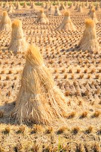 脱穀後の藁束が置かれた田の写真素材 [FYI01699324]