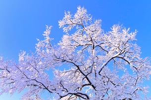 青空と着雪した樹木の写真素材 [FYI01699335]