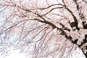 サクラの花の写真素材 [FYI01699337]