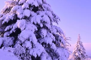 着雪した樅の写真素材 [FYI01699342]