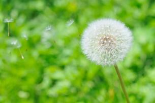 タンポポの綿毛の写真素材 [FYI01699348]