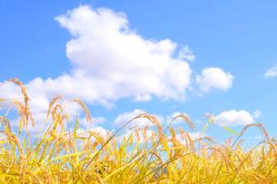 稲の写真素材 [FYI01699355]