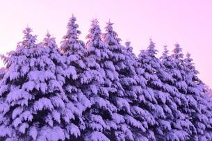 朝日に照らされる着雪した樅の写真素材 [FYI01699371]