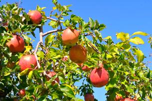 リンゴの写真素材 [FYI01699393]