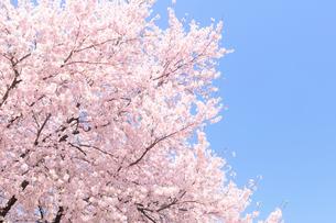 サクラの花の写真素材 [FYI01699397]