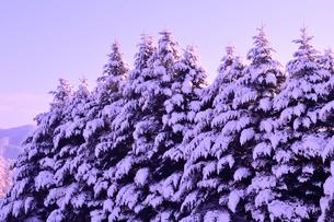 着雪した樅の写真素材 [FYI01699411]