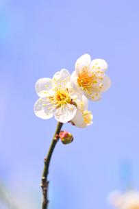 梅の花の写真素材 [FYI01699421]