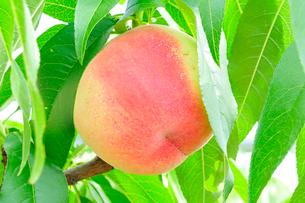 実ったモモの果実の写真素材 [FYI01699427]