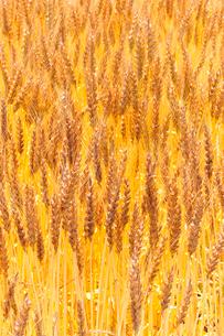 小麦の写真素材 [FYI01699447]