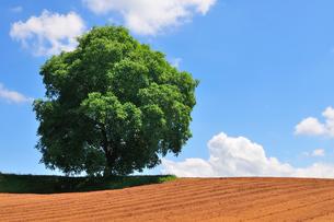 耕された畑と一本のクルミの木の写真素材 [FYI01699448]