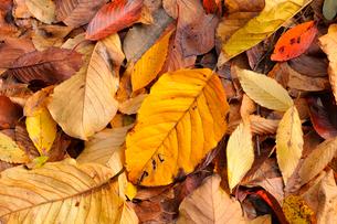 ホオノキの落ち葉の写真素材 [FYI01699471]