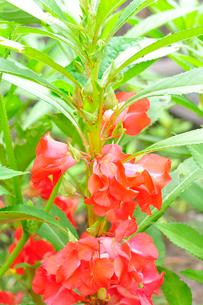 花を咲かせたホウセンカの写真素材 [FYI01699476]