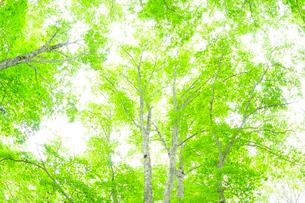 新緑のブナの写真素材 [FYI01699484]