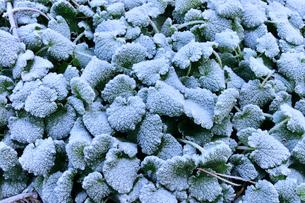 霜が覆ったヒメオドリコソウの葉の写真素材 [FYI01699485]