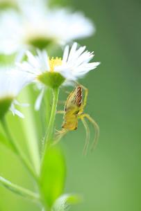花に止まるクモの写真素材 [FYI01699730]