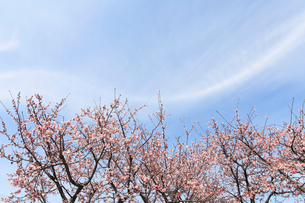 サクラと空の写真素材 [FYI01699806]