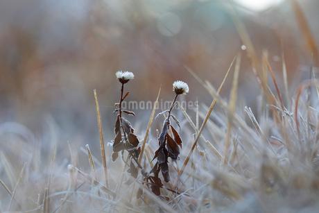 霜をかぶった草花の写真素材 [FYI01699850]