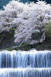 満開の桜を背景に渓流の砂防ダムから流れ落ちる清流の写真素材 [FYI01699864]