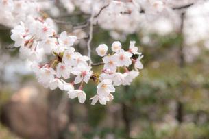 桜の写真素材 [FYI01699889]
