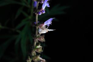 花の上で獲物を待つカニグモの仲間の写真素材 [FYI01699916]