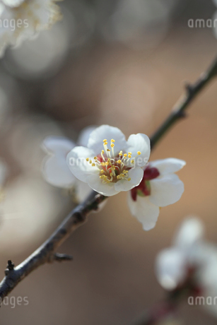 梅の花の写真素材 [FYI01699933]