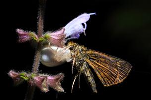 花の上で蝶を捕まえたカニグモの仲間の写真素材 [FYI01699958]