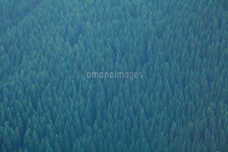 杉林の写真素材 [FYI01699969]
