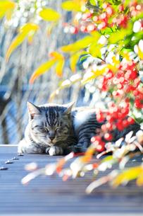 くつろぐ野良猫の写真素材 [FYI01700047]