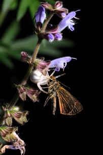花の上で蝶を捕まえたカニグモの仲間の写真素材 [FYI01700080]