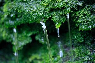 苔から滴り落ちる湧き水の写真素材 [FYI01700335]