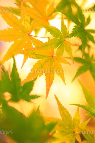 黄色い紅葉の写真素材 [FYI01700348]