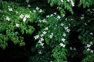 ヤマボウシの写真素材 [FYI01700378]